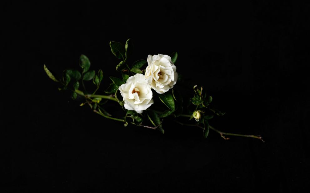 zwei weiße Rosen